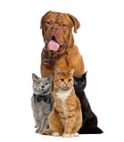 Cats and dogue de Bordeauw sitting, isolated on white
