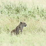 Leopard in grass in Serengeti National Park