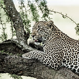 Leopard lying on a tree branch in Serengeti National Park