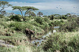 Elephant drinking in watercourse in Serengeti National Park