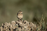 Passerine in Serengeti National Park