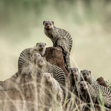 Group of mangooses looking at the camera, in Serengeti National
