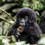 Young mountain gorilla in the Virunga National Park
