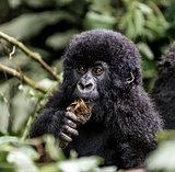 Young mountain gorilla in the Virunga National Park