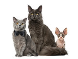 Maine Coon, sphynx and British Shorthair, isolated on white