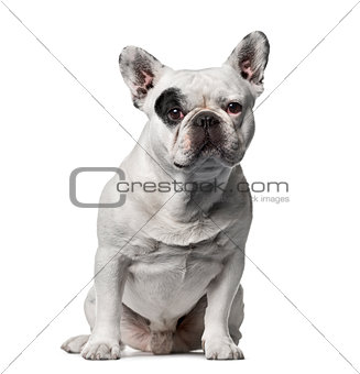French bulldog sitting , isolated on white