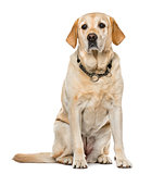 Labrador Retriever sitting, isolated on white, 7 years old