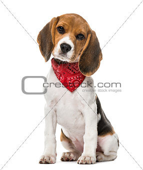 A Beagle puppy with a scarf sitting, isolated on white, 9 weeks