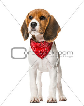 A Beagle puppy with a scarf standing, isolated on white, 9 weeks