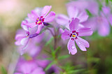 Little flowers blooming phlox pink with