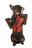 rottweiler and violin