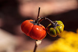 Pumpkin tree Solanum integrifolium