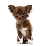 Puppy Chihuahua sitting, 4 months old , isolated on white