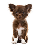 Puppy Chihuahua looking at the camera, isolated on white, 4 mont