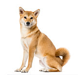 Shiba Inu sitting, isolated on white ,3 years old