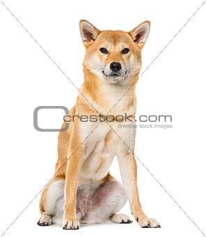 Image 7247832: Shiba Inu sitting, isolated on white ,3 ...