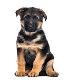 Puppy German Shepherd Dog sitting, 2 months old , isolated on wh