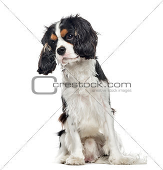 Cavalier King Charles Spaniel sitting, 10 months old , isolated