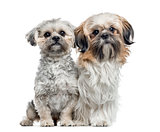 Two Shih Tzu side by side , isolated on white