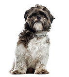 Shih Tzu sitting, 17 months old , isolated on white