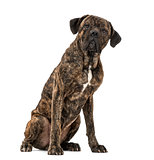 Cane Corso (2 years old)