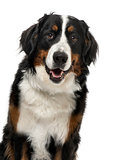 Close-up of a Bernese Mountain Dog, 1 year old , isolated on whi