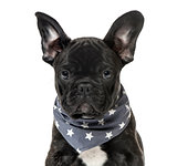 Close-up of a Black French bulldog Puppy with a starry scarf , i