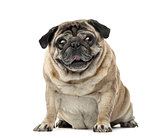 Pug sitting, 7 years old , isolated on white
