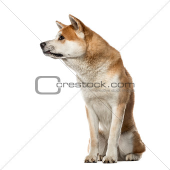 Akita Inu sitting and looking away, 22 months old , isolated on