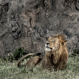 male lion resting in Serengeti National Park