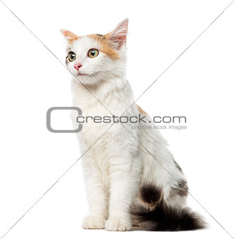 Kitten European Shorthair sitting, 4 months old, isolated on whi