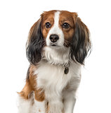Close-up of a Kooikerhondje sitting, 6 years old, isolated on wh