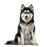 Siberian Husky sitting and looking at the camera, 3 years old, i