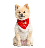 Pomeranian sitting with a red scarf, 3 years old, isolated on wh