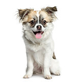 Mixed-breed dog sitting and panting, 3 months old, isolated on w
