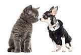 Cat and chihuahua dressed looking at each other, isolated on whi