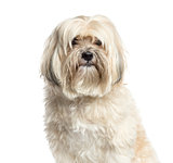 Close-up of a Shih-tzu, 10 years old, isolated on white