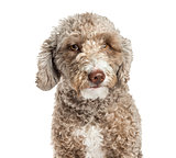 Close-up of a Spanish Water Dog, 1.5 years old, isolated on whit
