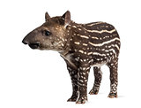 Young South american tapir, isolated on white, 41 days old