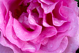 Beautiful pink rose closeup.