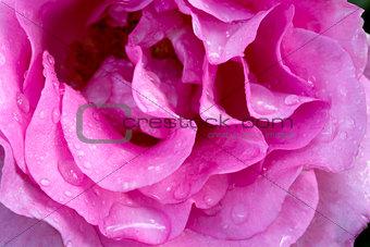 Beautiful pink rose closeup.