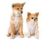 puppy shiba inu and chihuahua