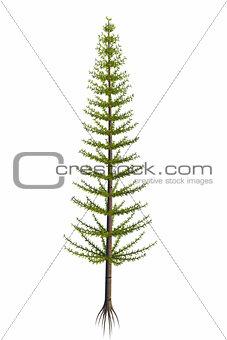 Calamites sp Tree