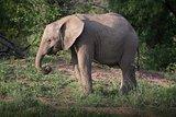 Wild Elephant in Africa.