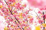 Sakura Flowers Background art Design