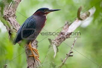 Green Heron on a Natural Perch