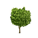 separate ficus tree with green leaves