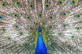 Proud blue peacock showing beautiful feathers