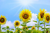 Sunflower or Helianthus Annuus on sky background