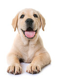 puppy labrador retriever